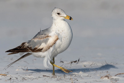 Ring-billed Gull, Fort De Soto, St Petersburg, FL, USA, May 2018-5