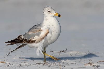 Ring-billed Gull, Fort De Soto, St Petersburg, FL, USA, May 2018-5