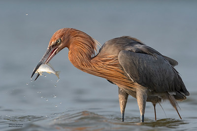 Reddish Egret, Fort De Soto, St Petersburg, FL, USA, May 2018-12