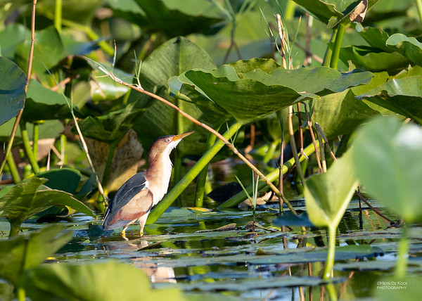 Least Bittern, Kissimmee Swamp, Kenansville, FL, US, May 2018-3