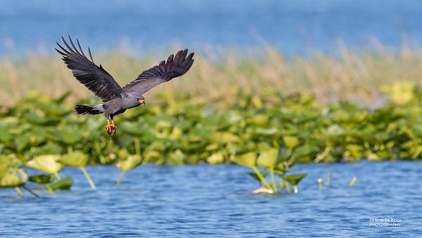 Snail Kite, Kissimmee Swamp, Kenansville, FL, US, May 2018-6