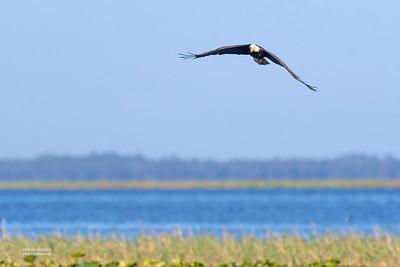 Bald Eagle, Kissimmee Swamp, Kenansville, FL, US, May 2018-1
