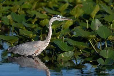 Great Blue Heron, Kissimmee Swamp, Kenansville, FL, US, May 2018-1