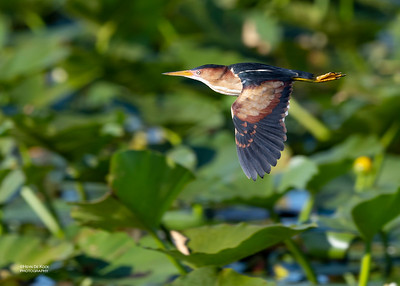 Least Bittern, Kissimmee Swamp, Kenansville, FL, US, May 2018-1