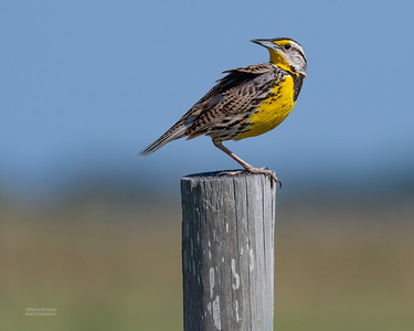 Eastern Meadowlark, Kissimmee Swamp, Kenansville, FL, US, May 2018-3
