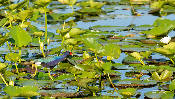 Purple Gallinule, Kissimmee Swamp, Kenansville, FL, US, May 2018-1
