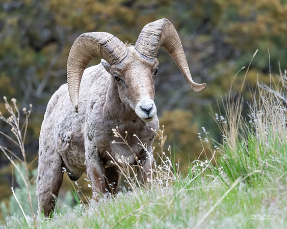 Bighorn Sheep, Yellowstone NP, WY, USA May 2018-4