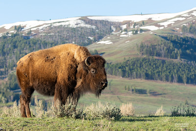 Bison, Yellowstone NP, WY, USA May 2018-3