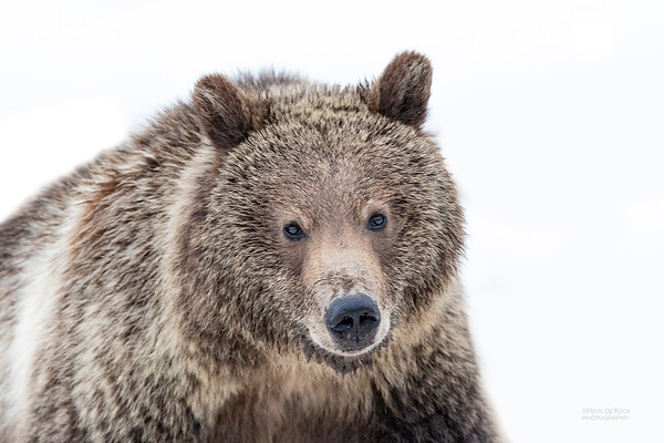 Grizzly Bear, Yellowstone NP, WY, USA May 2018-1