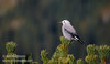 A Clark's Nutcracker (Gray Jays typically have some black on the top-back of their head, and have a notably-shorter bill)<br /> (9/7/2015, Frozen Lake Trail, Sunrise, Mt. Rainier NP, WA)<br /> EF100-400mm f/4.5-5.6L IS II USM @ 400mm f/7 1/800s ISO400