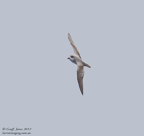 SIO-BAPE-02 Barau's Petrel ( Pterodroma baraui ) Southern Indian Ocean Nov 2012