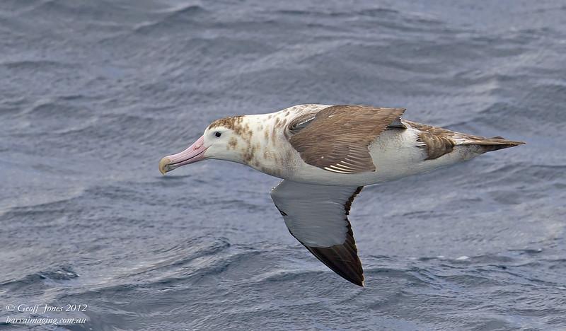 SIO-AMAL-04 Amsterdam Albatross ( Diomedea amsterdamensis ) Amsterdam Island Southern Indian Ocean Nov 2012