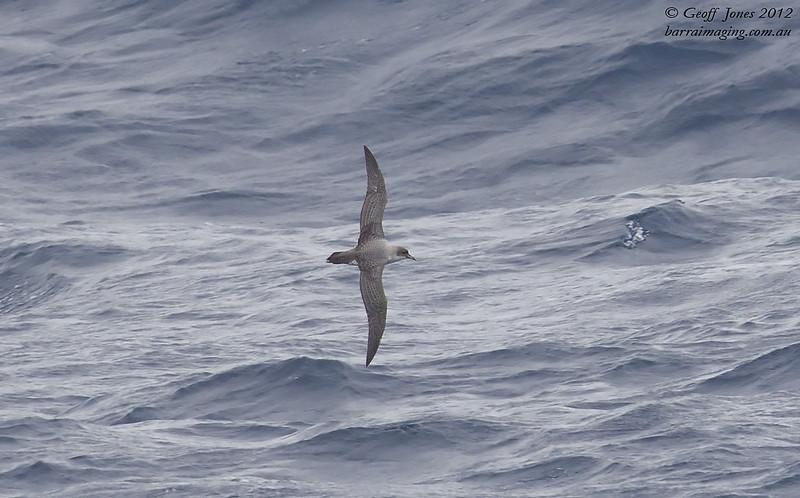 SIO-GRPE-01 Grey Petrel ( Procellaria cinerea ) Southern Indian Ocean Nov 2012