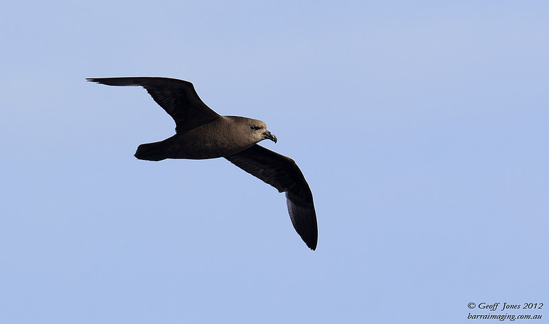 SIO-GWPE-01 Great-winged Petrel ( Pterodroma macroptera ) Southern Indian Ocean Nov 2012