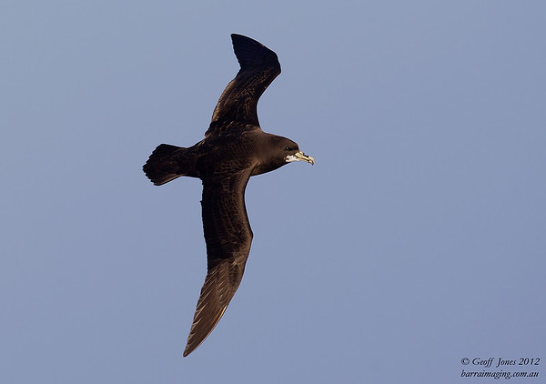 SIO-WCPE-04 White-chinned Petrel ( Procellaria aequinoctialis ) Southern Indian Ocean Nov 2012