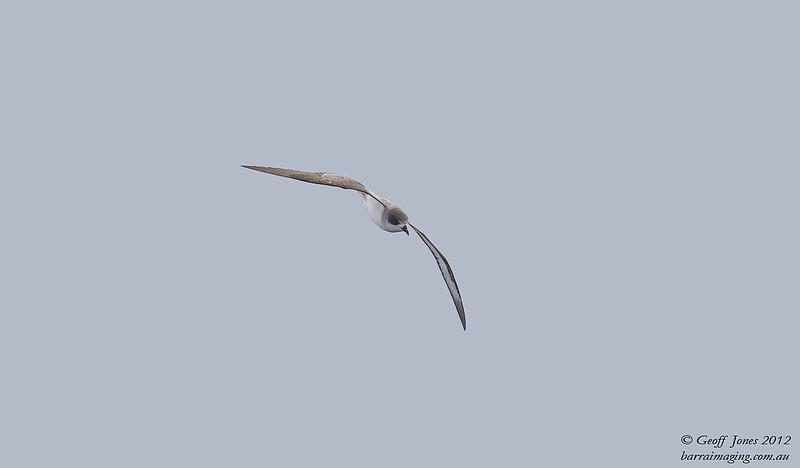 SIO-BAPE-04 Barau's Petrel ( Pterodroma baraui ) Southern Indian Ocean Nov 2012