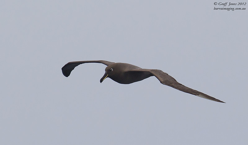 SIO-SOAL-04 Sooty Albatross ( Phoebetria fusca ) Southern Indian Ocean Nov 2012
