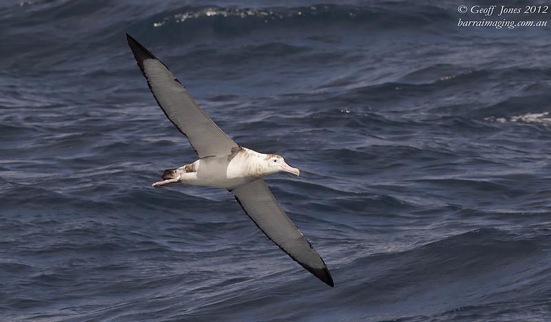 SIO-AMAL-03 Amsterdam Albatross ( Diomedea amsterdamensis ) Amsterdam Island Southern Indian Ocean Nov 2012