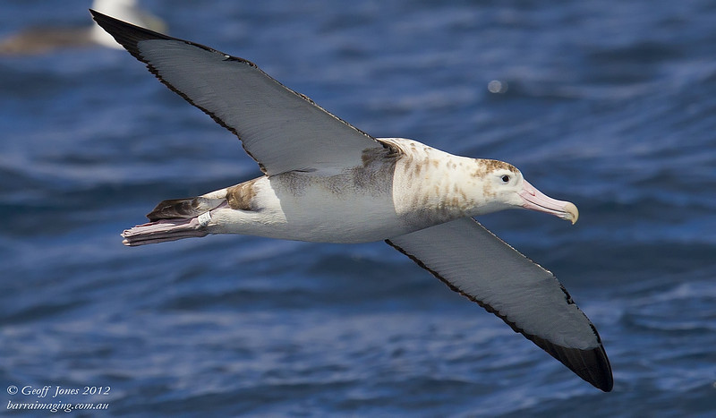SIO-AMAL-05 Amsterdam Albatross ( Diomedea amsterdamensis ) Amsterdam Island Southern Indian Ocean Nov 2012