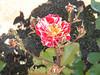 George Burns Rose