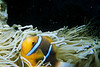 A clown fish hanging out in an anemone.