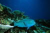 Large pacific parrotfish on coral reef.