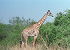 Giraffe in South Luangwa National Park