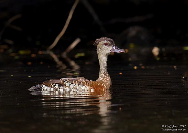 Spotted Whistling Duck ( Dendrocygna guttata ) PNG-SWDU-03 Bensbach Lodge PNG August 2012