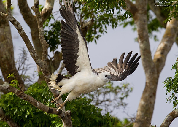 White-bellied Sea Eagle Imm ( Haliaeetus leucogaster ) PNG-WBSE-01 Bensbach Lodge PNG August 2012