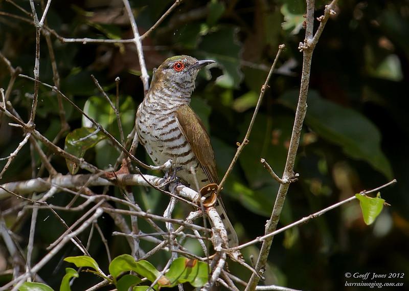 Little Bronze Cuckoo Male ( Chrysococcyx minutillus ) Ssp russatus PNG-LBCU-01 Bensbach Lodge PNG August 2012