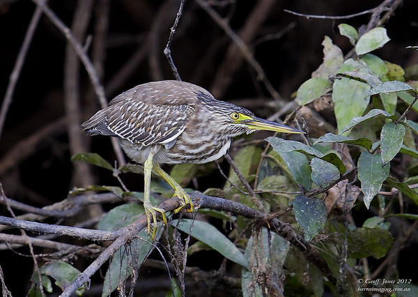 Striated Heron ( Butorides striata )  PNG-STHE-02 Bensbach Lodge PNG August 2012