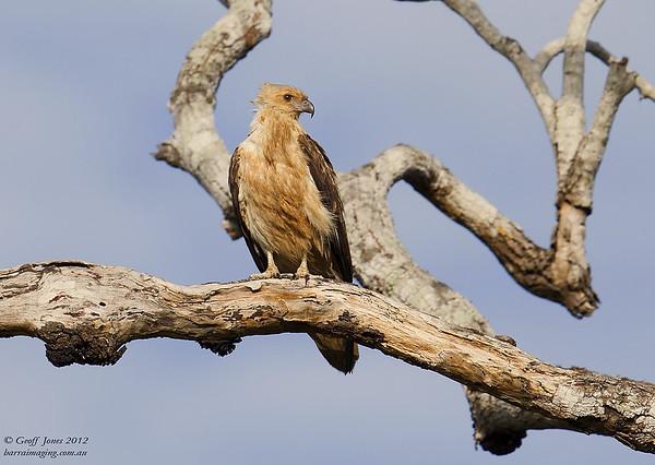 Whistling Kite ( Haliastur sphenurus )  PNG-WHKI-01 Bensbach Lodge PNG August 2012