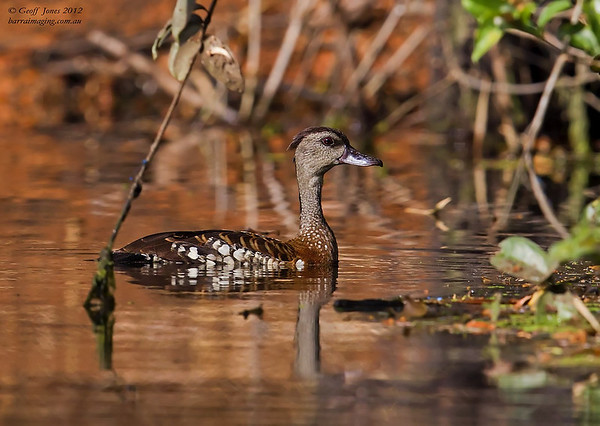 Spotted Whistling Duck ( Dendrocygna guttata ) PNG-SWDU-04 Bensbach Lodge PNG August 2012