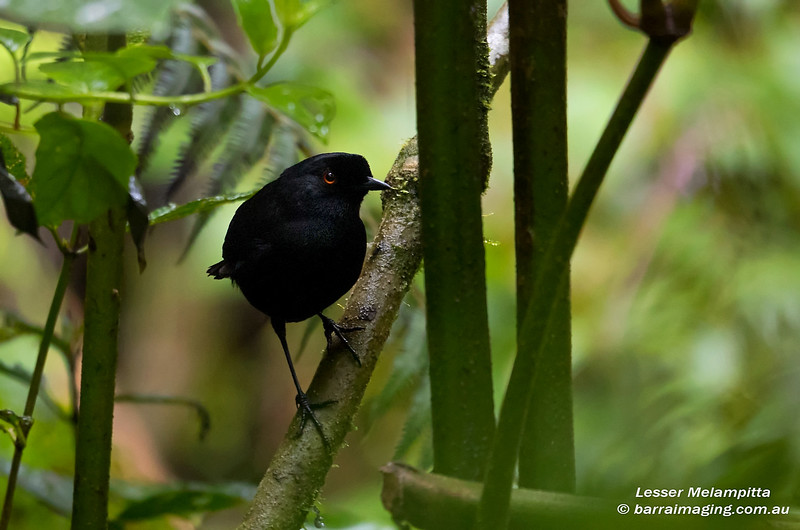 Lesser Melampitta male