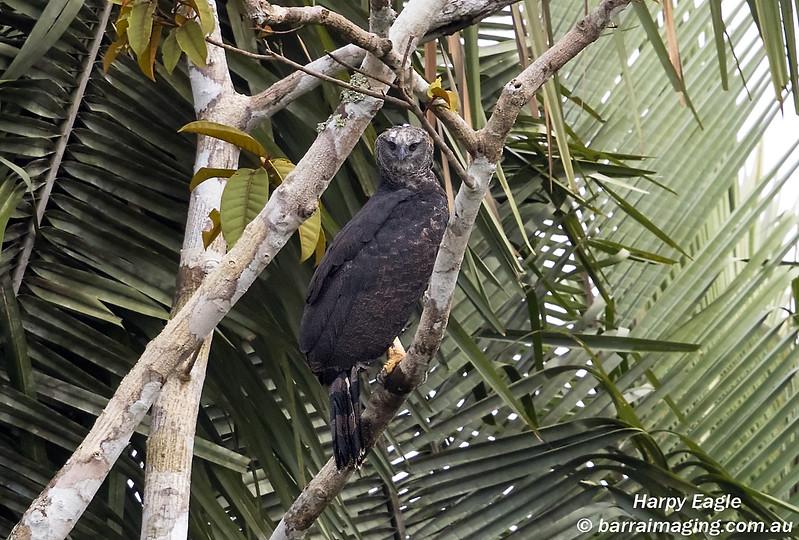 Harpy Eagle immature