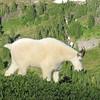 Mtn Goats on Hillside