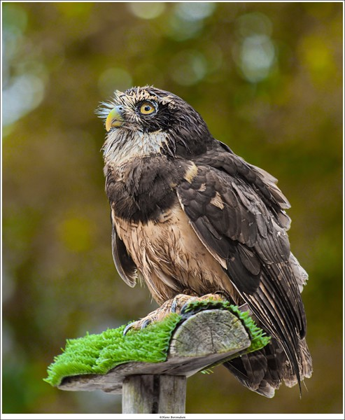 neo-tropical Spectacled Owl (Pulsatrix perspicillata)
