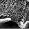 Elephant (monochrome)