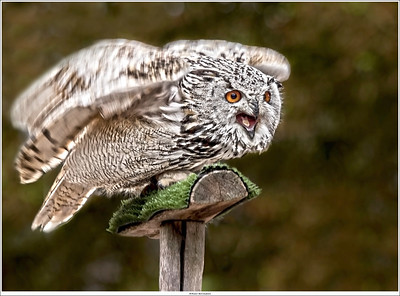 Owl ready for take-off