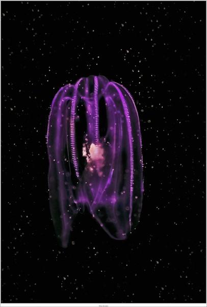 Jellyfish (tiny)