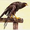 Juvenile American bald eagle / Jonge Amerikaanse zee-arend