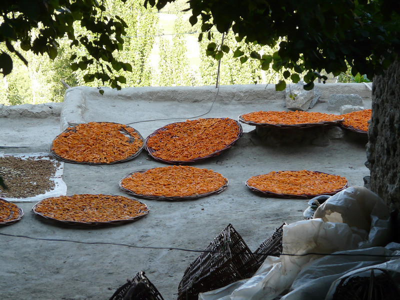 drying apricots