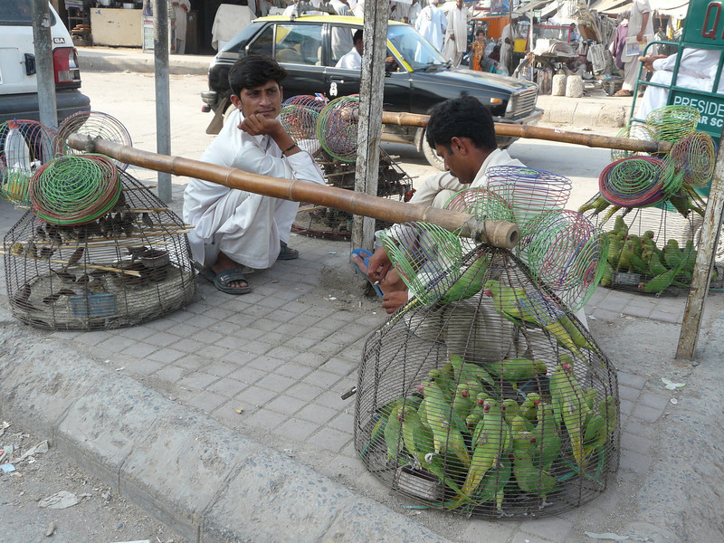 buy a bird (Rawalpindi)