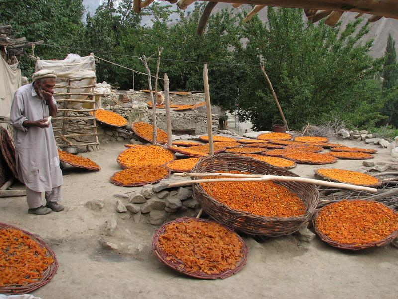apricots (near Karimabad)