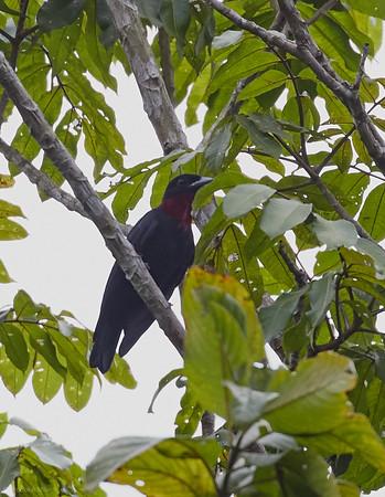 Purple-throated Fruitcrow