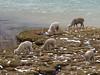 Lama pacos (Alpaca) (Peru 2009, Nevado Ausangate)