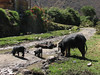 Pigs (Peru 2009, Calamina 3950m. Cordillera Blanca)