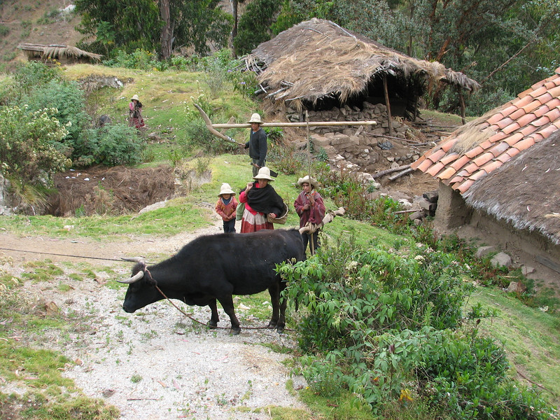 Working with bullocks (Peru 2009, Cordillera Blanca)