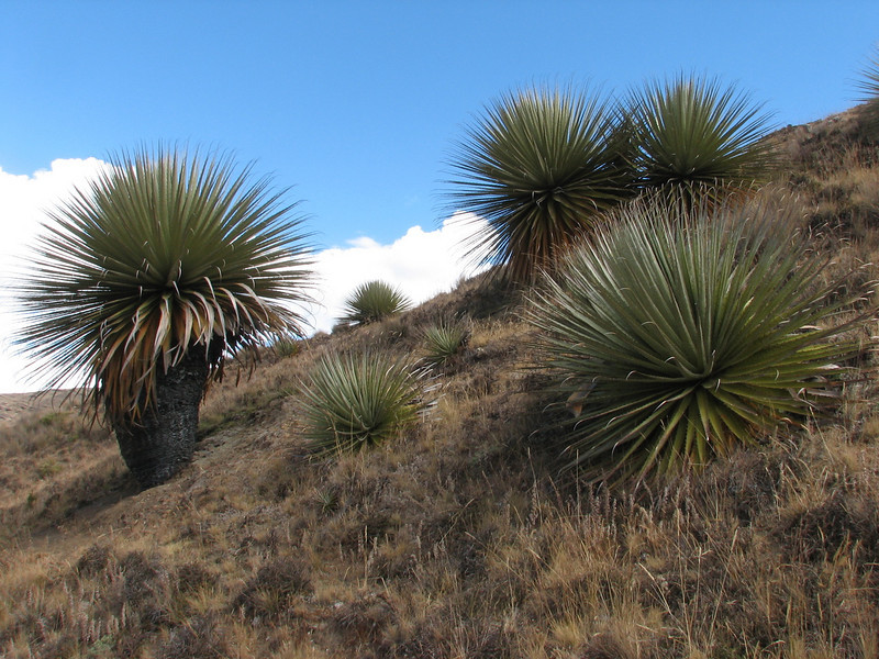 the rare gigant Bromelia: Puya raimondii (Peru 2009, Huinchus 4300m.)