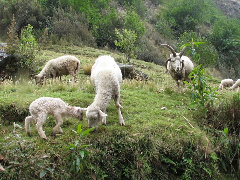 Sheep and lambs (Peru 2009, Cordillera Blanca)